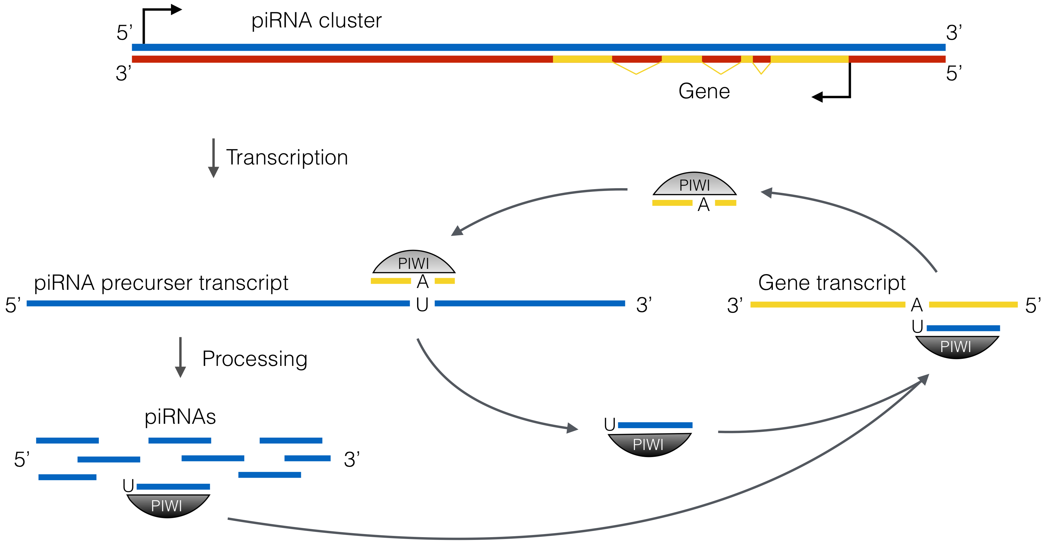 piRNAs target transcripts of protein-coding genes