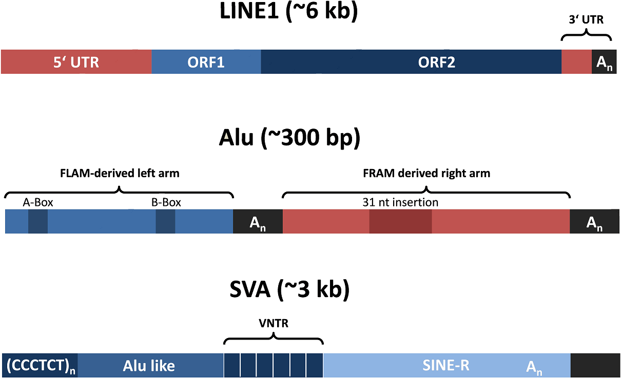 active human transposons