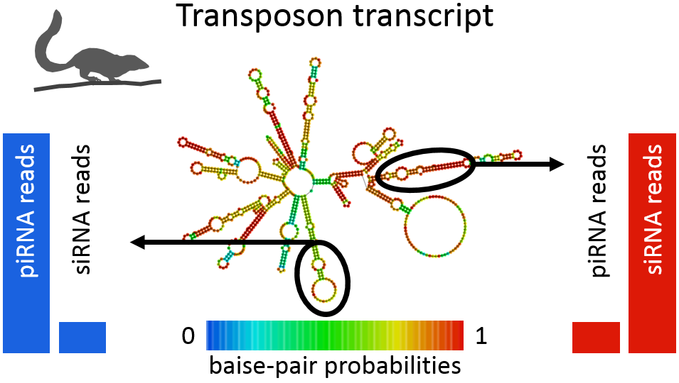 piRNAs and siRNAs target transposon transcripts